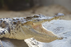 The crocodile. Dangerous crocodile with open mouth Royalty Free Stock Photos