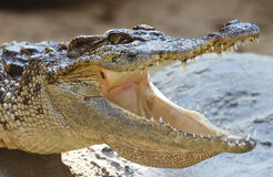 The crocodile. Dangerous crocodile with open mouth Stock Image