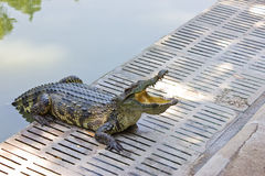 Crocodile. Crocodiles are moving up from the pond royalty free stock photos