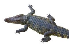 Crocodile. Crocodile on a white background Stock Photos