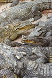 Crocodile. S are relaxing on the ground Royalty Free Stock Photography