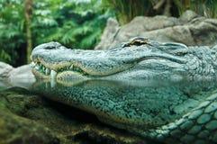 Crocodile. Big crocodile lurking at the water's edge stock photography