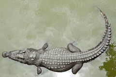 Crocodile. Is relaxing in the river Stock Images