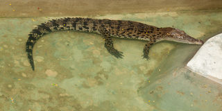 Crocodile. In zoo of thailand Stock Images