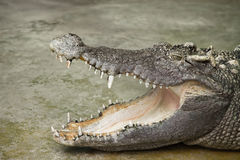 Crocodile. Close up of dangerous crocodile Royalty Free Stock Photos