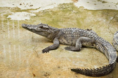 Crocodile. Baby crocodile in the farm Stock Image