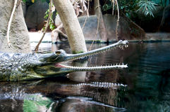 Crocodile. The crocodile lies on water with an open mouth, showing huge teeth Stock Images