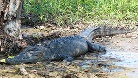 Crocodile Photos stock