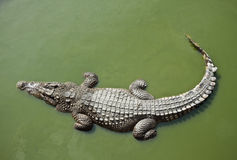 Crocodile. Close up of dangerous crocodile in the river Stock Photo