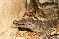 Crocodile. In zoo of thailand Royalty Free Stock Images