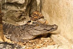 Crocodile. In zoo of thailand Stock Photography