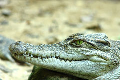 Crocodile. Royalty Free Stock Photography