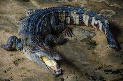 Crocodile. A Crocodile at the crocodile (Sarm-Pran) farm Royalty Free Stock Images