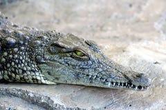 Crocodile Photographie stock