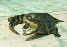 Crocodile. The phyket's largest crocodile farm Stock Images