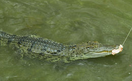 Crocodile Photos libres de droits