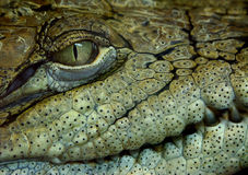 Crocodile. 's face Royalty Free Stock Images