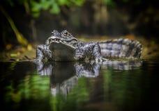 Free Crocodile Stock Image - 35654411