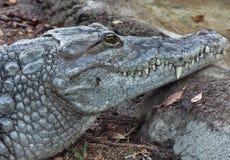 Crocodile. Close-up of nile crocodile, taken in Florida Stock Image