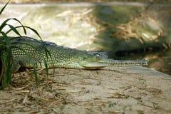 Crocodile royalty free stock photography