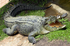 Crocodile. Australian Crocodile Stock Photos