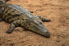 Crocodile. A crocodile lying on ground stock photography