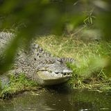 Crocodile. Photos stock