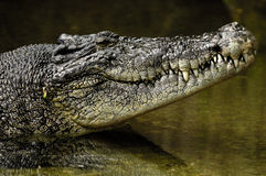 Crocodile. Australian Estuarine Crocodile Waiting n the Northern Territories Royalty Free Stock Photos