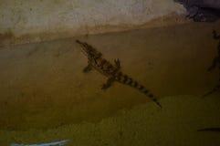 crocodile photographie stock libre de droits