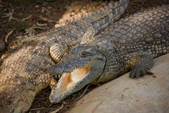 Crocodile. At the zoo Stock Photos