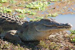 Crocodile Stock Photography