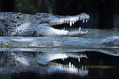 The crocodile Royalty Free Stock Image