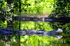 Crocodile Royalty Free Stock Images