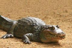 Free Crocodile Royalty Free Stock Photography - 5808607