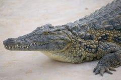crocodile Στοκ Φωτογραφίες