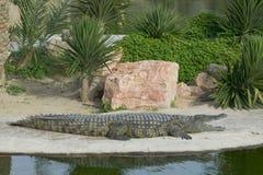 crocodile Στοκ Εικόνες