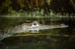 crocodile Image stock