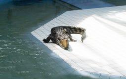 crocodile Photos libres de droits