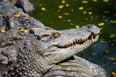 Crocodile. Portrait of danger hungry crocodile stock photos
