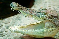 Crocodile. Open its big mouth Stock Photo