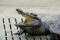 crocodile Photos stock