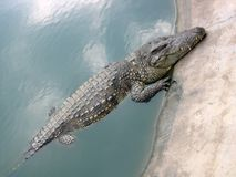 Crocodile. Coming to the surface Royalty Free Stock Photography
