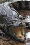Crocodile Stock Image