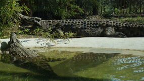 crocodile Images libres de droits