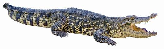 Free Crocodile Stock Images - 78077654