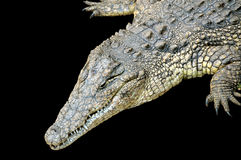 Crocodile Stock Images