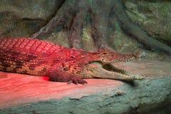 Crocodile - 11 Images libres de droits
