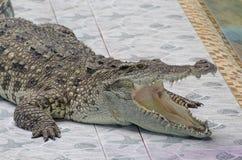 crocodile Photo stock