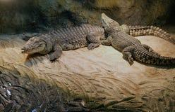 Crocodile Stock Images