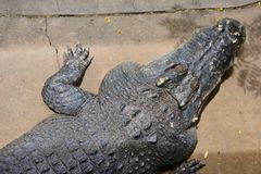 crocodile image stock